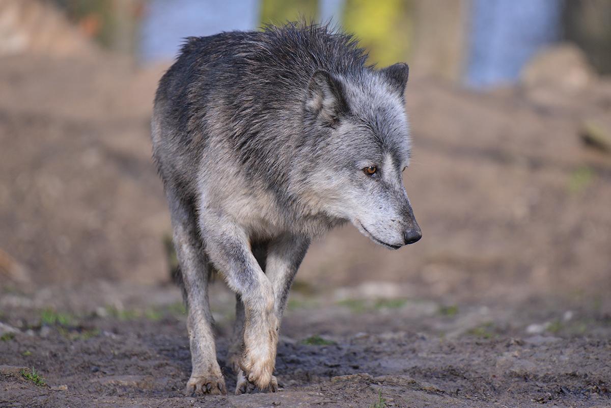 Tamron150-600_Wolf_01