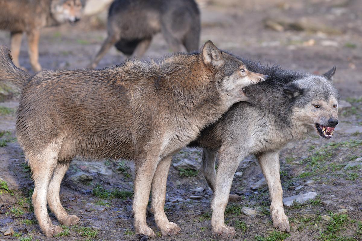 Tamron150-600_Wolf_02