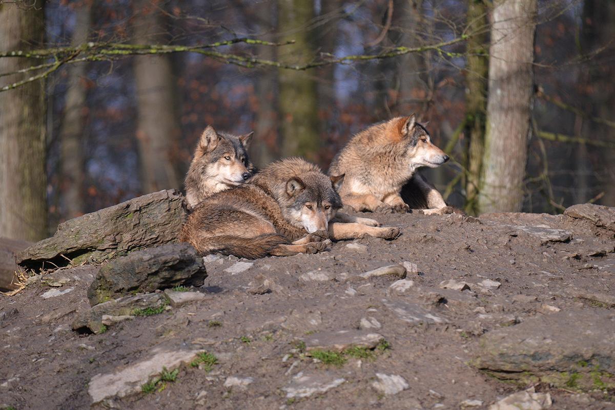 Tamron150-600_Wolf_03