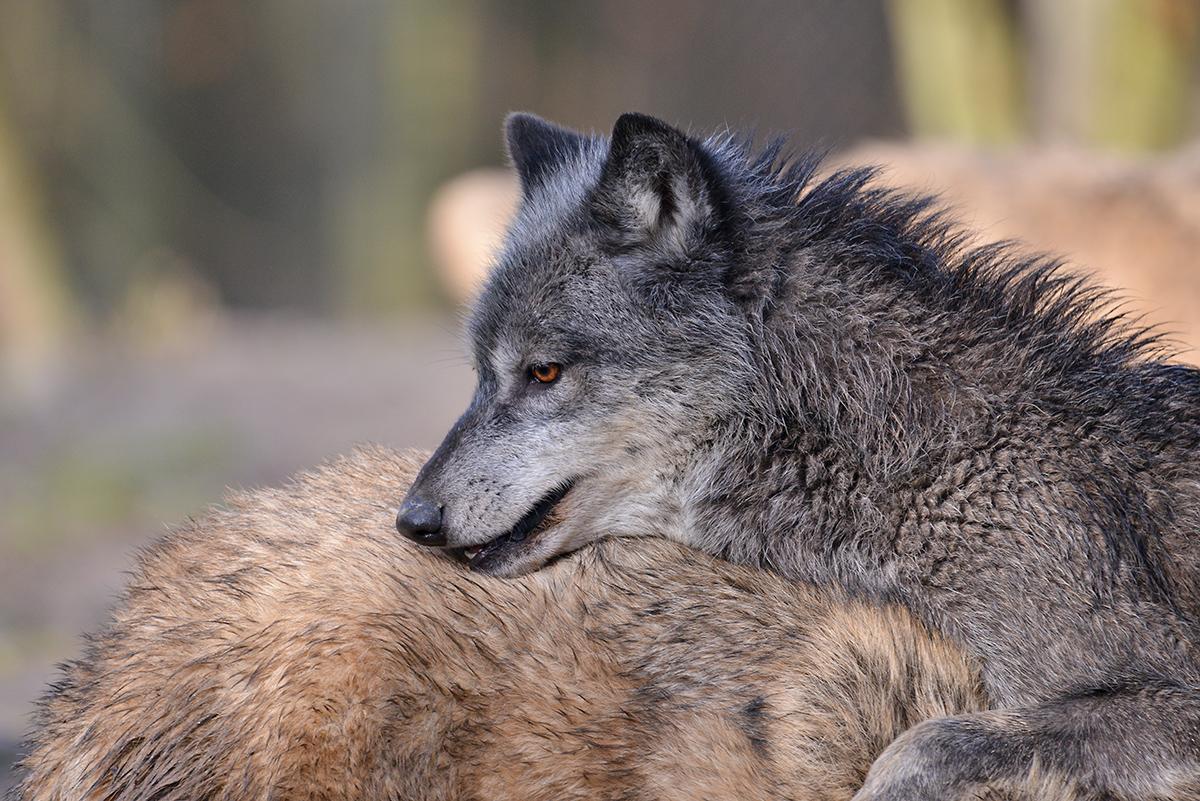 Tamron150-600_Wolf_04